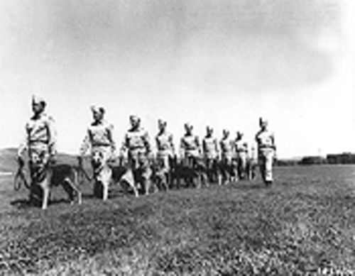 Traditional war dogs file in review in 1951.