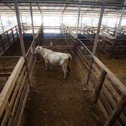 A lone cow waits for its turn across the auction floor at the weekly livestock auction in Longview.