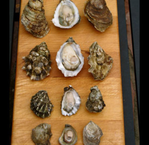 Virginica, Pacific, Kumamoto and Olympia oysters all have their fans.