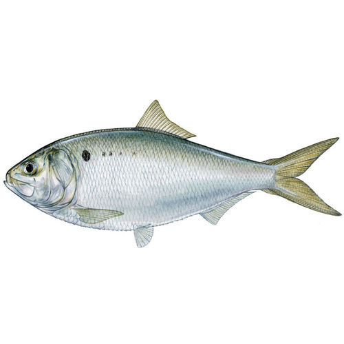 Oily and bony, the menhaden will not be found on a menu alongside salmon or snapper.