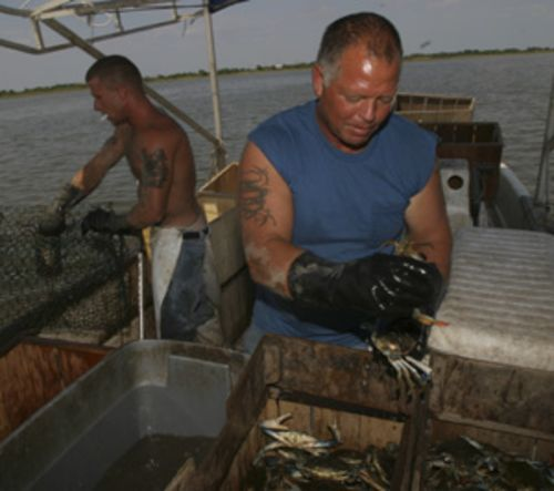 Crabber Craig Ray sorts the No. 1's from the No. 2's.
