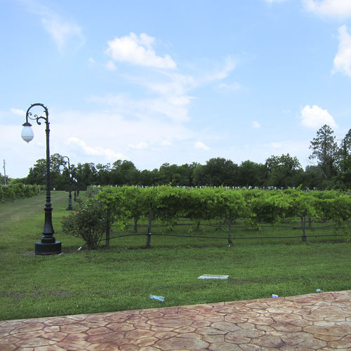 Haak Vineyards in Santa Fe thrives on the humid Gulf Coast due in part to the varietals it chooses to grow.
