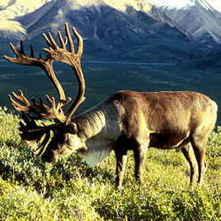 The original Caribou: nice rack, eh?