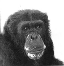 Ken was one of 14 lab chimps called out of retirement and sent to the Southwest National Primate Research Center.