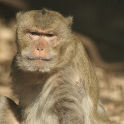 Former lab monkey Chappy, a crab-eating macaque was lucky to retire to Born Free USA Primate Sanctuary.