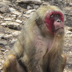 Former lab monkey Dex, a stumptail macaque, was lucky to retire to Born Free USA Primate Sanctuary.