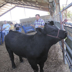 Beef 101 students learn to evaluate cattle on the hoof to estimate yield and quality grade before slaughter.