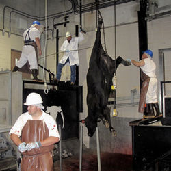 The cattle are stunned, then hung and bled. The heart needs to keep beating to clear all the blood out of the carcass.