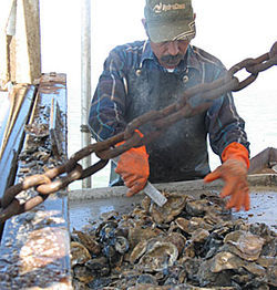 Gulf fishermen in Galveston dredge oysters from public reefs.