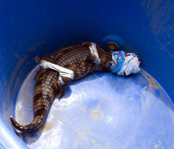 This alligator escaped from the boardwalk Aquarium, but was wrestled into submission.