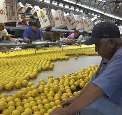 In October, workers at the largest citrus shipping facility in Texas began sorting and packing fresh oranges.