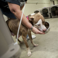 Volunteers worked around the clock to care for the seized dogs at a temporary shelter.