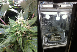 Tim's hydroponic system and the cannabis plants he grows in it are equally impressive.